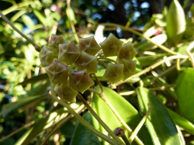 Hoya siamica Late Bud Stage - Summer 2014