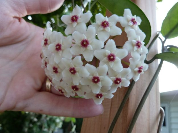 Hoya pubicalyx 'Purple Hybrid' Seedling Flower - A Carnosa By Any Other Name.