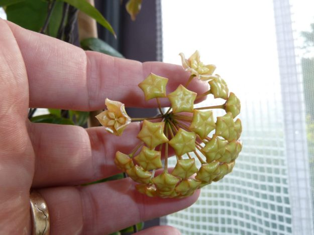 Hoya ischnopus First Flower Opened - Summer 2014