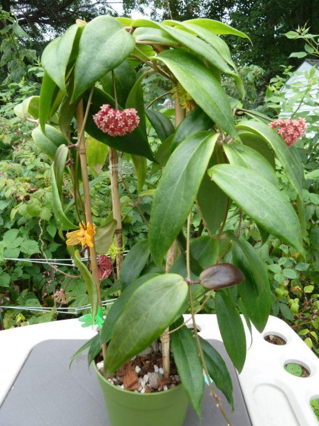 Hoya ilagiorum 5