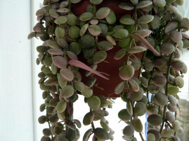 Dischidia nummularia variegata Seed Pods - September 2014