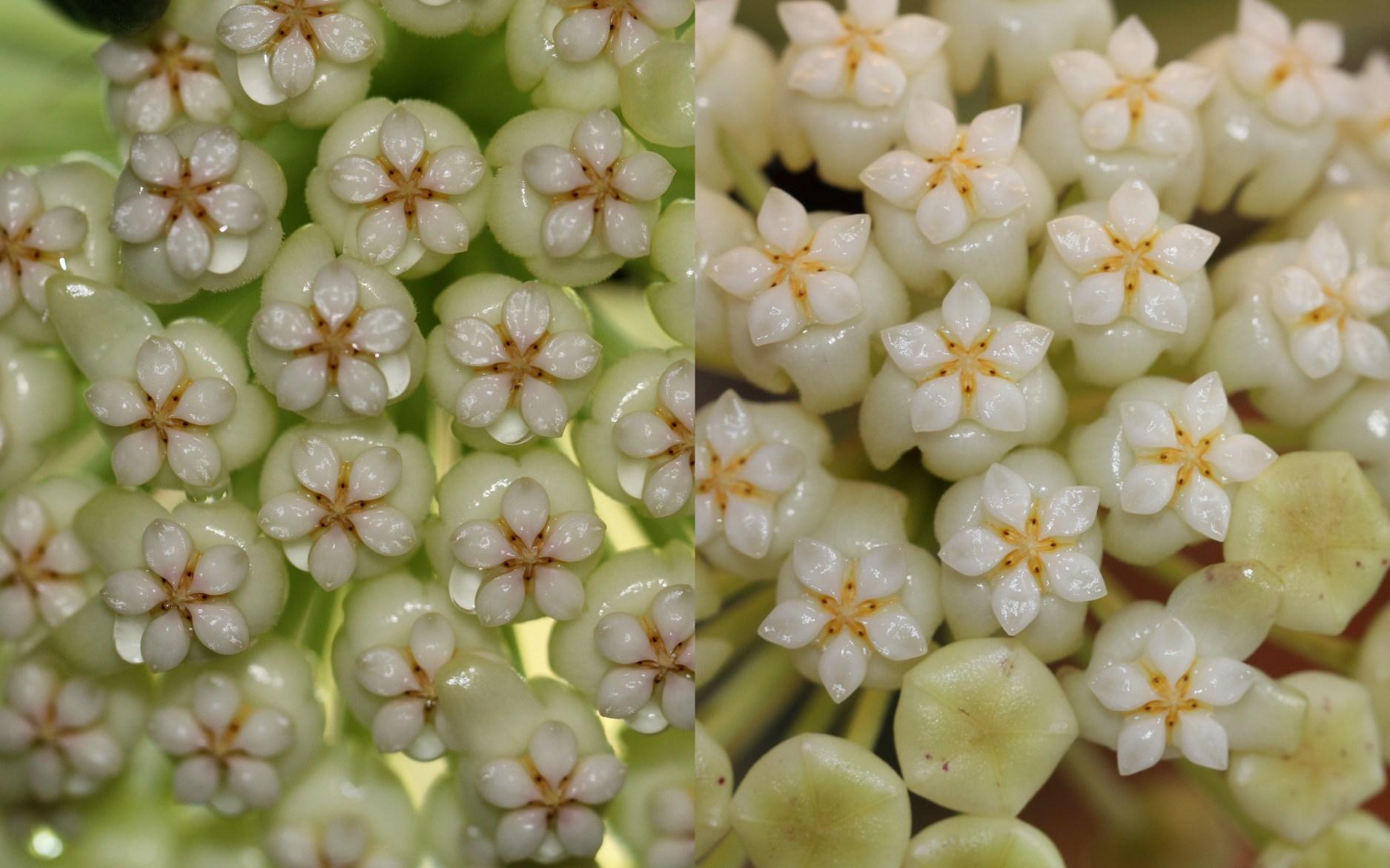 Лаурентия цветок фото телекарт-прибор гарантия