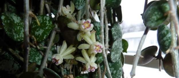 Hoya curtisii in December - A Small Miracle!