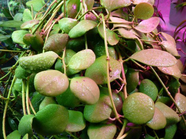 Hoya kasterbergii 012015a