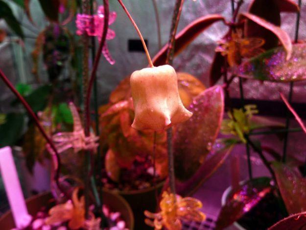 Hoya sammannaniana (EPC 883) 022215