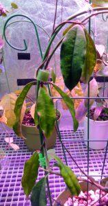 Hoya sammannaniana, Hoyas sp. Deep Bell, Hoya sp. EPC 883 Leaves