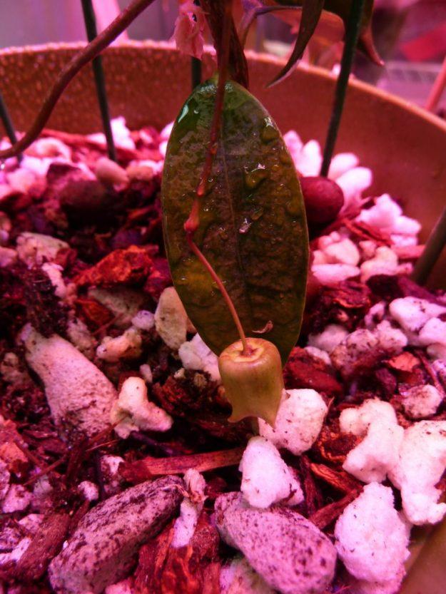 Hoya sammannaniana 030415