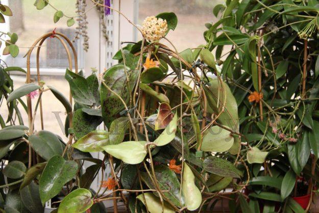 Hoya sp. 22 Khao Yai 050815