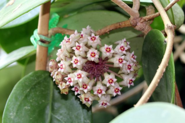 Hoya parasitica 060915b