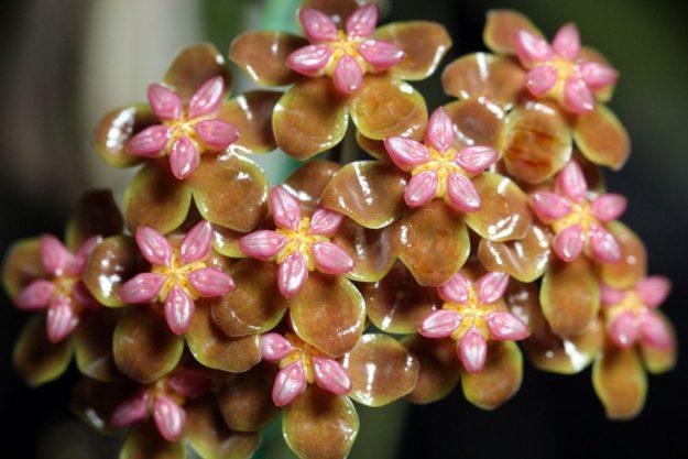 Hoya soligamiana 061515a