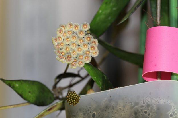 Hoya parviflora 070315a