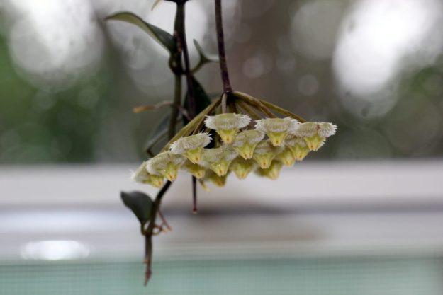 Hoya mirabilis Clone A 073115a