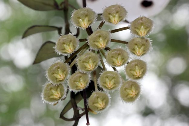 Hoya mirabilis Clone A 080215