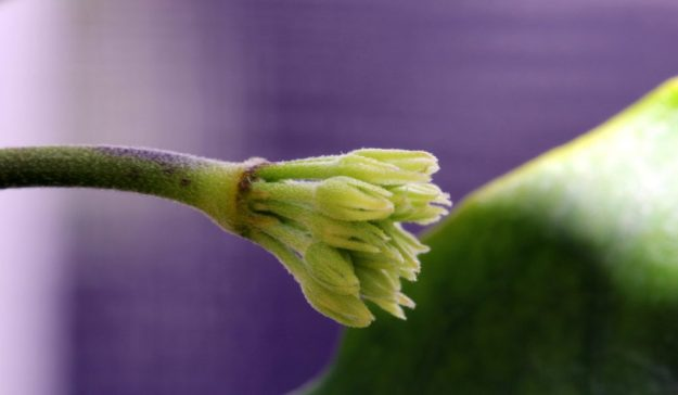 Hoya lockii New Buds 080515a