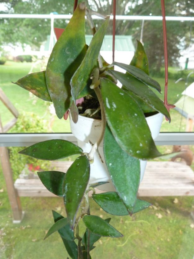 Hoya mirabilis Clone A 073015