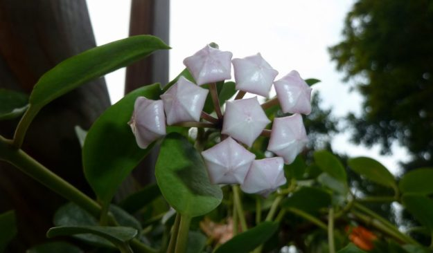 Hoya wightii sub. palniensis 091315b