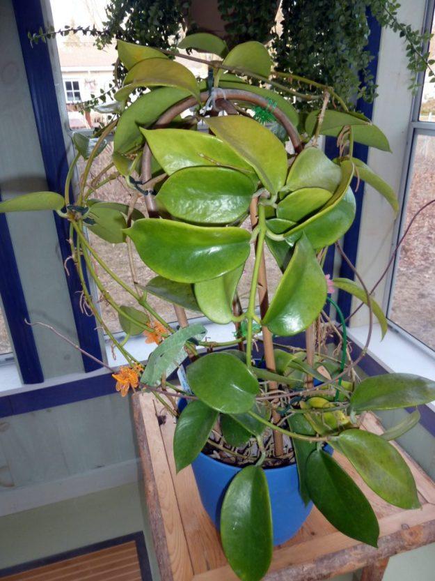 Hoya benitotanii 100115b