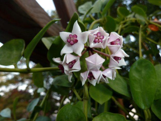 Hoya wightii ssp. palniensis 091715
