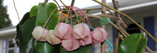 Hoya archboldiana 102515b