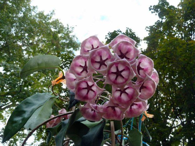 Hoya archboldiana 103015a