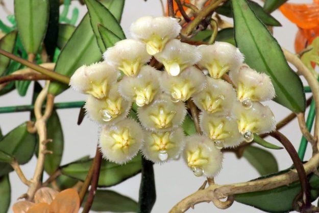 Hoya mirabilis Clone B 011716b