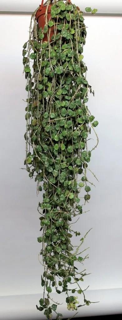Hoya curtisii 022116a