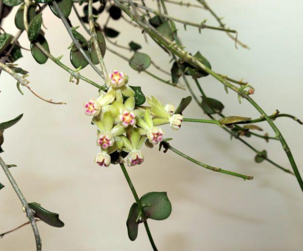 Hoya curtisii 022116b