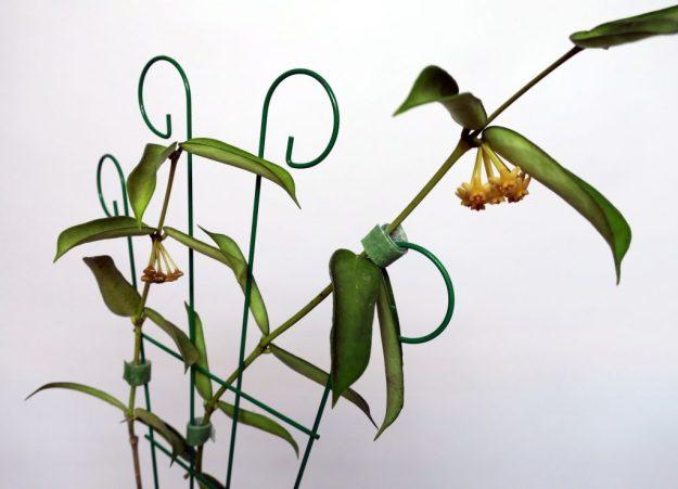 Hoya pandurata 022216a