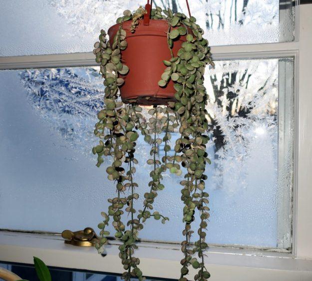 Dischidia nummularia variegata 031016