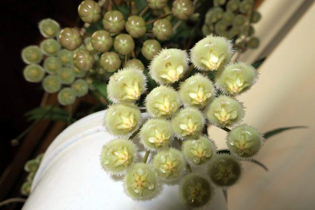 Hoya mirabilis 031116a