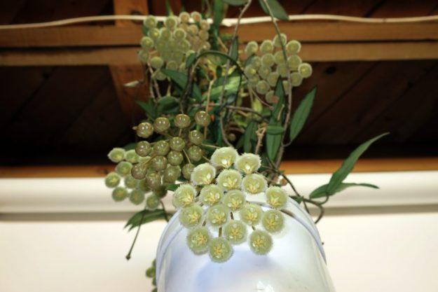Hoya mirabilis 031316