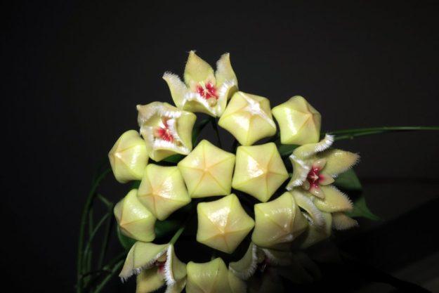 Hoya Halconensis 040416