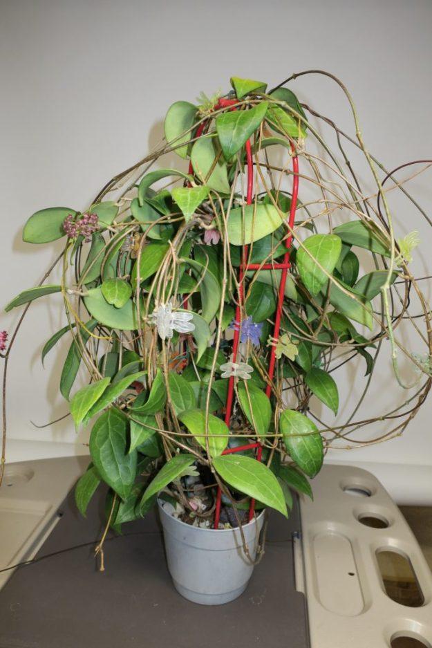 Hoya sp. aff. erythrostemma IML 1423 050716