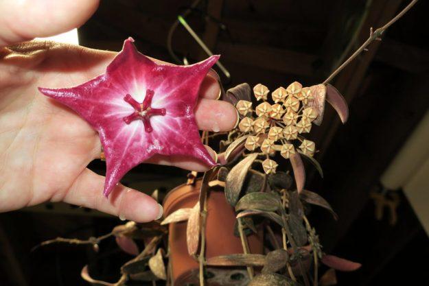Hoya macgillivrayi and Hoya sigillatis 050216