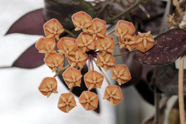 Hoya sigillatis 050116