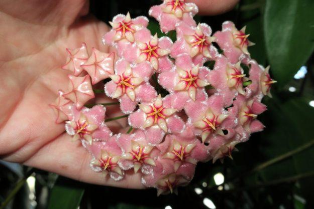 Hoya pubicalyx Pink Dragon GKMP-8008C 052516