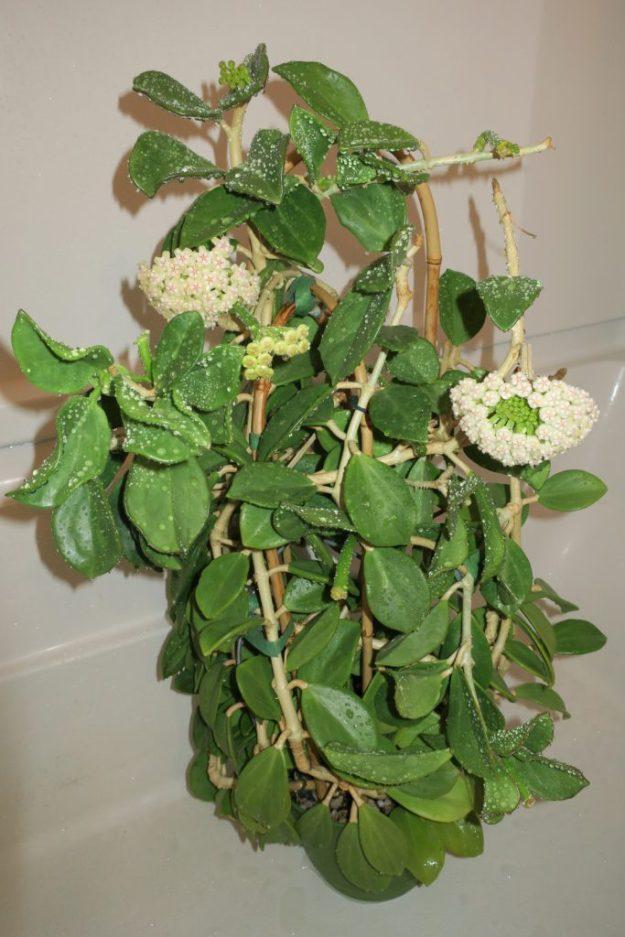 Hoya pachyclada 060416a