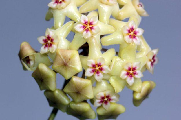 Hoya neocaledonica 061916b