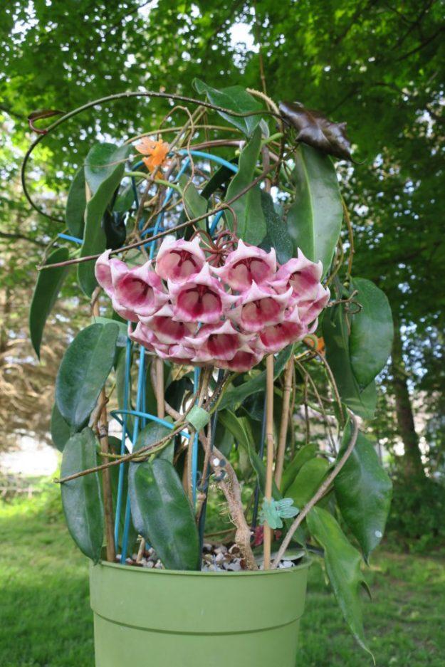 Hoya archboldiana 062516b
