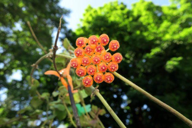 Hoya endauensis 080216