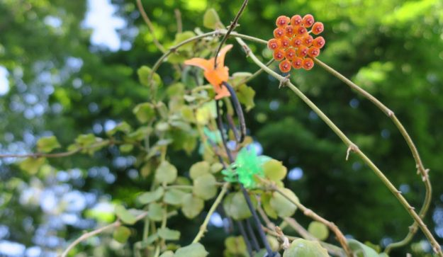 Hoya endauensis 080116