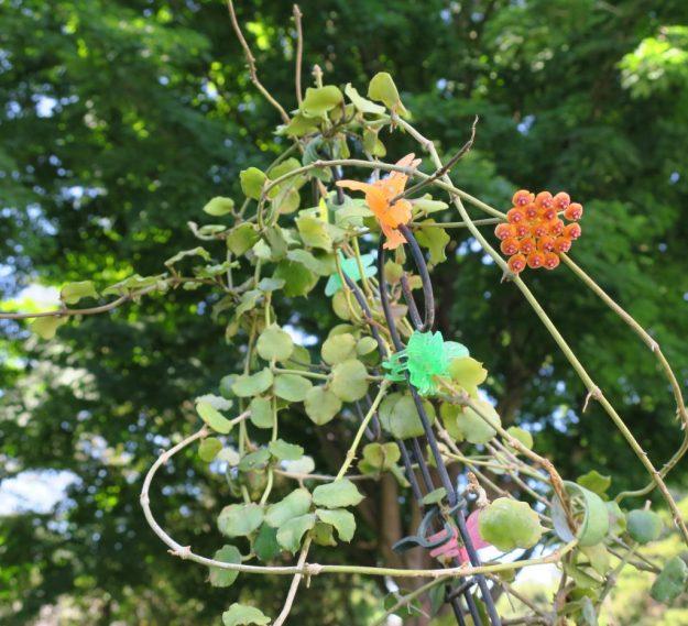 Hoya endauensis 073116b