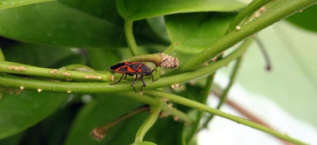 Milkweed Bug on Hoya halconensis 080416