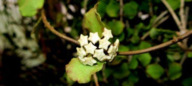 Hoya kanyakumariana 090816a
