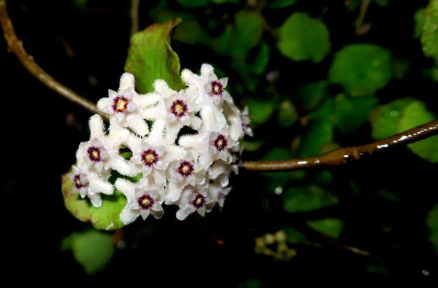 Hoya kanyakumariana 091216a