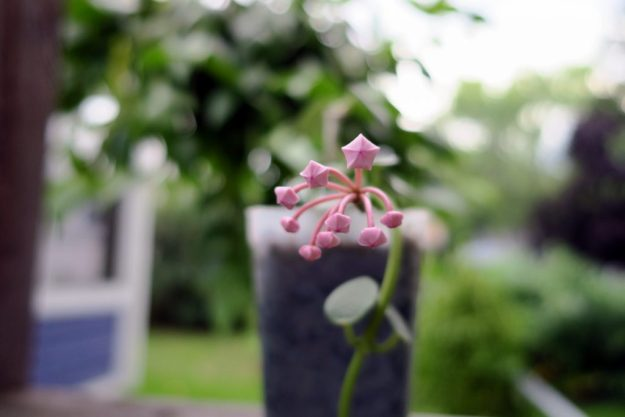 Hoya lithophytica 091416c
