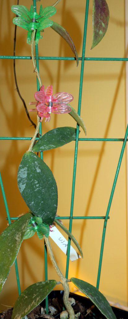 Hoya sp. Phu Wua 101716b