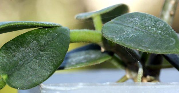 Hoya lithophytica 092016b
