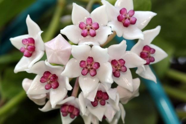 Hoya wightii sub. palniensis 100216