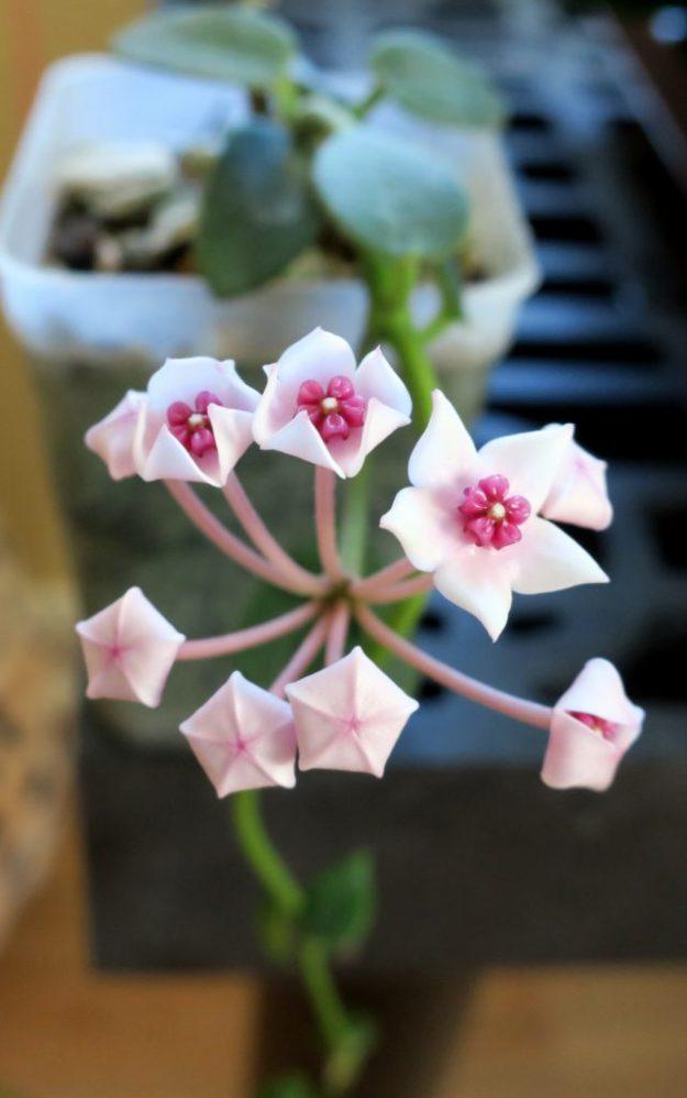 Hoya lithophytica 091716a